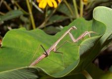 Carolina Praying Mantis (Stagmomantis carolina). The Carolina Praying Mantis (Stagmomantis carolina)  on Leaf. The Carolina mantis is a praying mantis native to Royalty Free Stock Images