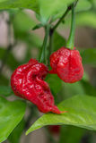 Carolina Reaper fotografia stock