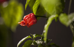 Carolina Reaper strong hot pepper Stock Photography