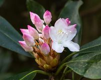 Carolina Rhododendron Flower Stock Image
