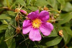 Carolina rose, Rosa carolina royalty free stock photo
