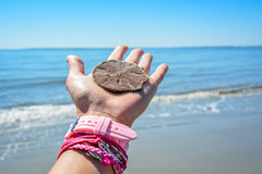 Carolina& x27;s sand dollar in hand with blue ocean as background Royalty Free Stock Images