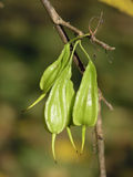 Carolina Silverbell Seed pods Stock Photography