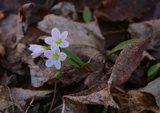 Carolina Spring Beauty flowers. Carolina Spring Beauty / Claytonia caroliniana royalty free stock photo