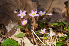 Carolina Spring Beauty flowers. Carolina Spring Beauty / Claytonia caroliniana stock photography
