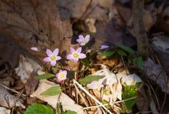 Carolina Spring Beauty wild flowers. Carolina Spring Beauty / Claytonia caroliniana royalty free stock photos