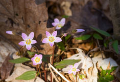 Carolina Spring Beauty wildflowers. Carolina Spring Beauty / Claytonia caroliniana stock image