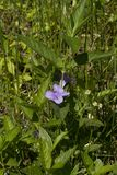 Carolina Wild Petunia - Ruellia caroliniensis Wildflower. This is a lavender blossom of the Carolina Wild Petunia - Ruellia caroliniensis wildflower growing in stock image