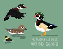 Carolina Wood Duck Cartoon Vector illustration Arkivfoton