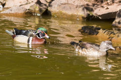 Carolina wood duck. On the lake Stock Image