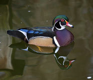 Carolina Wood Duck with Reflection Stock Images