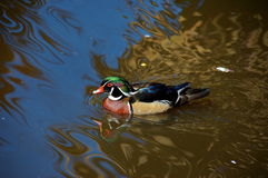 Carolina wood duck, South Africa. Carolina wood duck in Birds of Eden, South Africa stock image