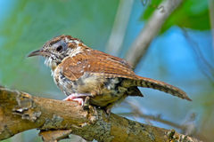 Carolina Wren. Sitting on branch. Molting Royalty Free Stock Photography