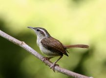 Carolina wren. Sitting on a limb Royalty Free Stock Photo