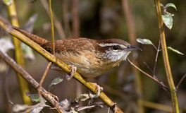 Carolina Wren Stock Photos
