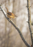 Carolina Wren Stock Image