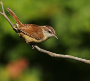 Carolina Wren royaltyfri bild