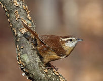 Carolina Wren Foto de Stock Royalty Free