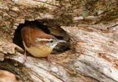 Carolina Wren Royalty-vrije Stock Fotografie