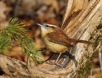 Carolina Wren Stockbilder
