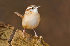 Carolina Wren Photo stock