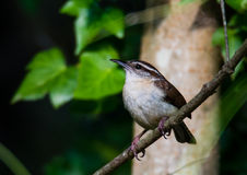 Carolina Wren fotografia de stock