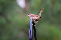 Carolina Wren. Backyard Garden birding Athens Georgia Carolina Wren Stock Photography