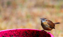 Carolina Wren-beak open. Single, adult Carolina Wren on a pink flower pot with beak open Royalty Free Stock Photography
