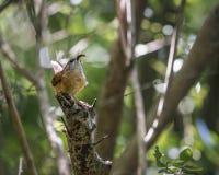 Carolina Wren bird gathering insect food for chicks Stock Photos