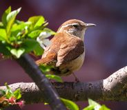 Carolina Wren Bird Perched In um ramo de árvore fotografia de stock