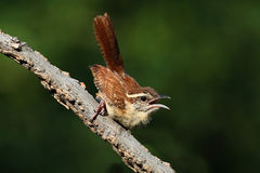Carolina Wren On A Branch Stock Images