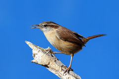 Carolina Wren On A Branch Royalty Free Stock Photos