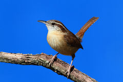 Carolina Wren On A Branch Stock Photos