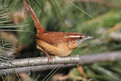 Carolina Wren On A Branch Royalty Free Stock Images