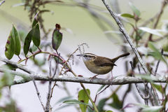 Carolina Wren on branch Royalty Free Stock Photography