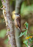Carolina Wren curieuse Images libres de droits