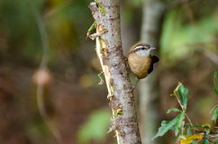 Carolina Wren curieuse Images stock