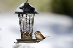 Carolina Wren, die Vogelfutter an der Hinterhofzufuhr im Schnee, Athen, Georgia, USA isst Lizenzfreies Stockfoto