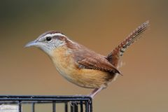 Carolina Wren On en Suet Feeder Royaltyfri Fotografi