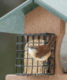 Carolina Wren on feeder Stock Image