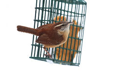 Carolina Wren On A Feeder Stock Images