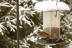 Carolina Wren at Feeder in Snow Royalty Free Stock Photos