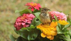 Carolina Wren-flowers Stock Photo