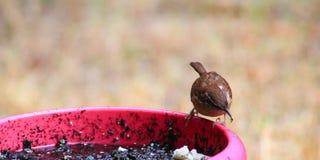 Carolina Wren-food in beak Royalty Free Stock Image