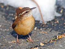 Carolina Wren Stock Images