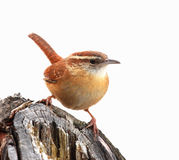 Carolina Wren isolated Stock Images