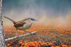 Carolina Wren mit orange Blumen Lizenzfreie Stockfotografie
