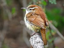 Carolina Wren perched on a branch Stock Photography