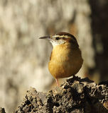 Carolina Wren Stock Photography