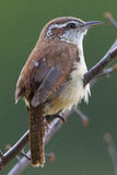 Carolina Wren. Perched on a tree, taken at a county park in Virginia Royalty Free Stock Photos